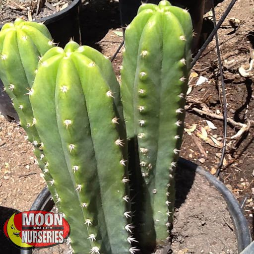 San Pedro Cactus Cacti Agave More