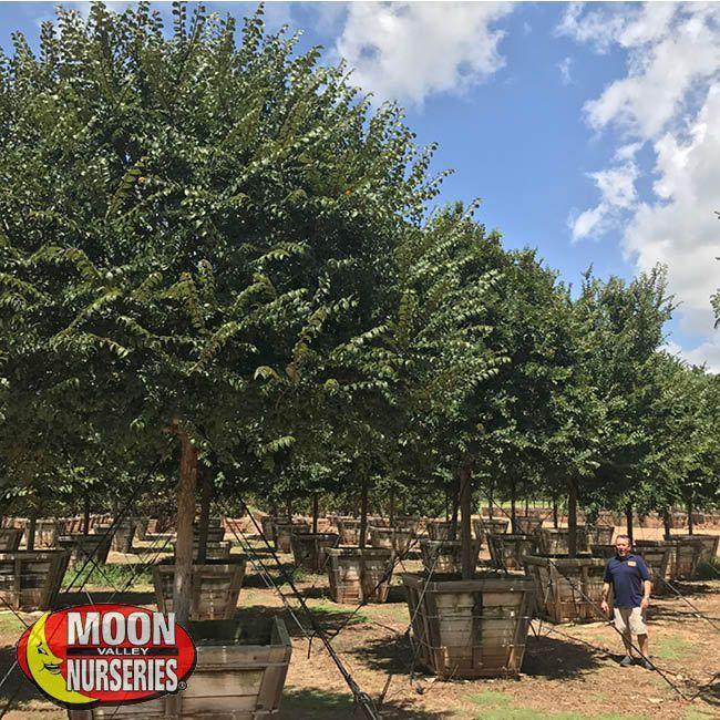 Specimen Trees Cedar Elm