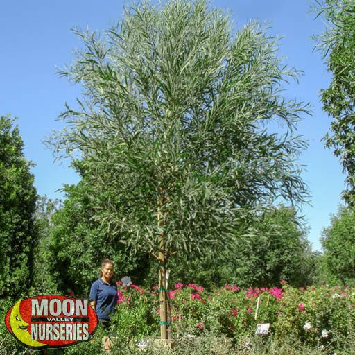 Desert Trees Acacia Saligna