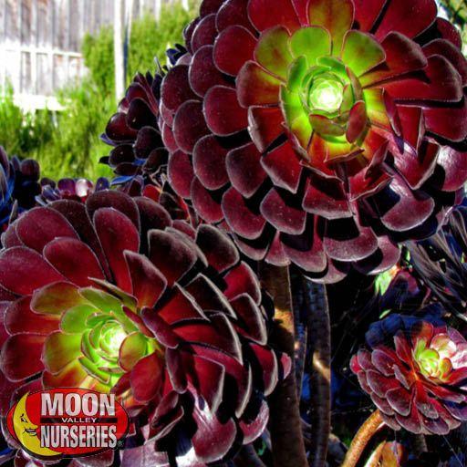 Cacti Agave and More Aeonium 'Purple Queen'