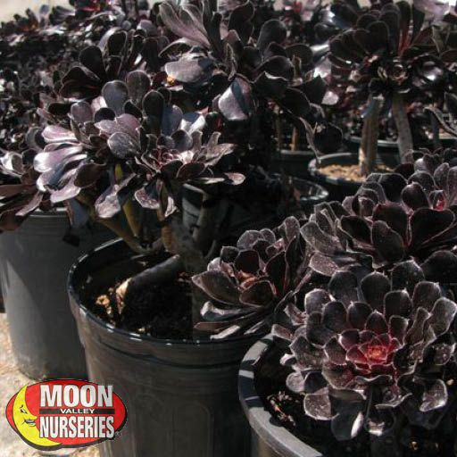 Cacti Agave and More Aeonium