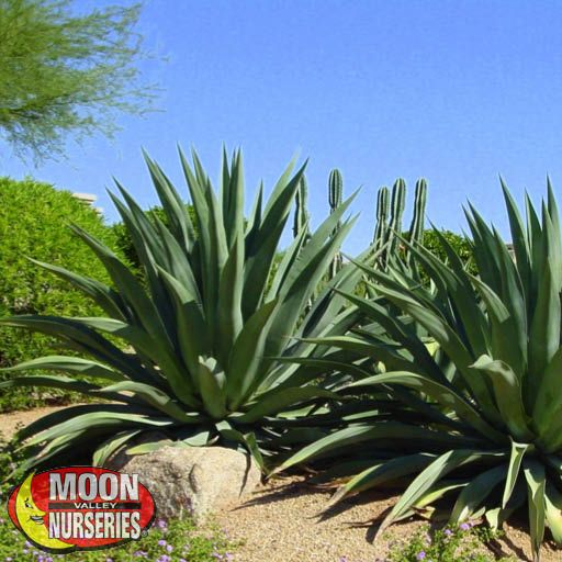 Cacti Agave and More Weber's Century Plant
