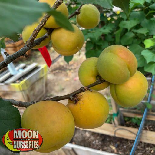 Citrus & Fruit Trees Gold Kist Apricot