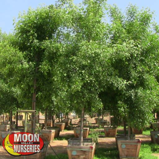 Fast Growers Arizona Ash