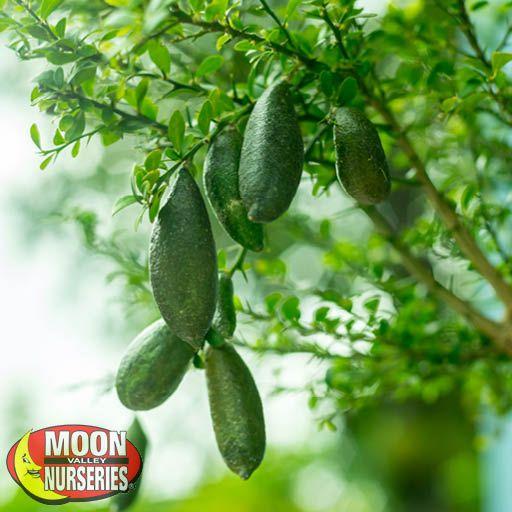 Citrus & Fruit Trees Australian Finger Lime