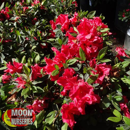 Winter to Spring Refresh TX Encore® Azaleas