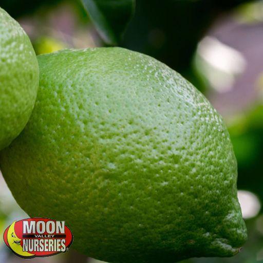 Citrus & Fruit Trees Bearss Lime