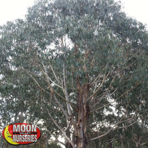 Fast Growers Blue Gum