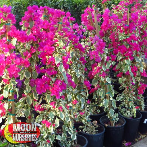 Shrubs Bougainvillea Raspberry Ice