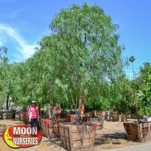 Trees of Winter California Pepper