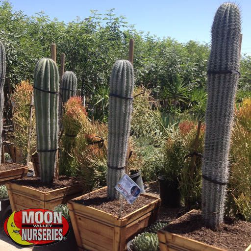 Cacti Agave and More Cardon Grande Cactus