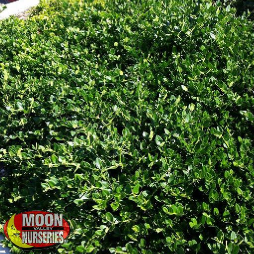 Ground Covers Green Carpet