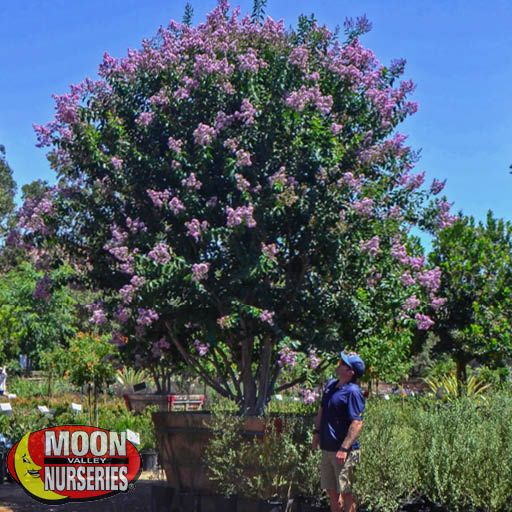 Flowering Trees Catawba Crape Myrtle