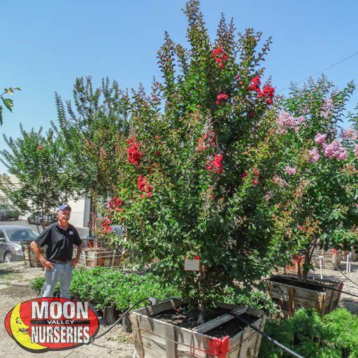 Flowering Trees Dynamite Crape Myrtle