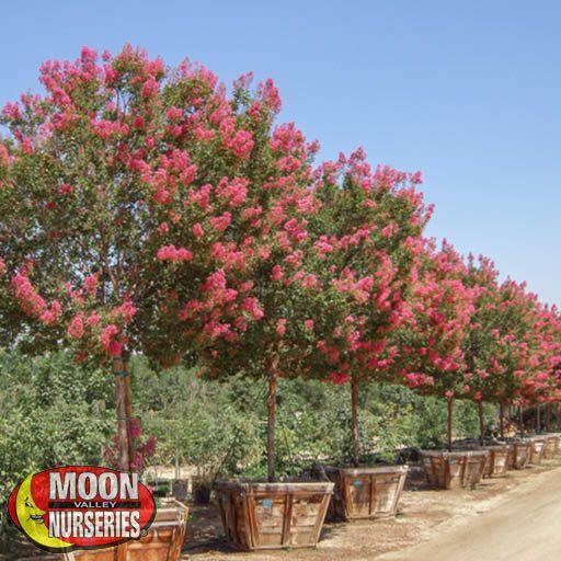 Flowering Trees Tuskegee Crape Myrtle