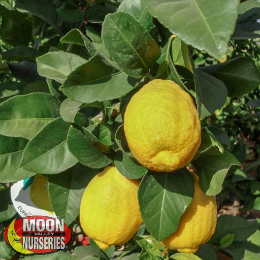 Citrus & Fruit Trees Eureka Lemon