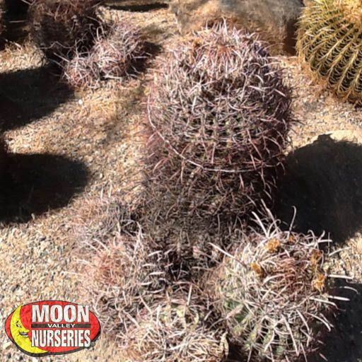 Cacti Agave and More Fishhook Barrel Cactus