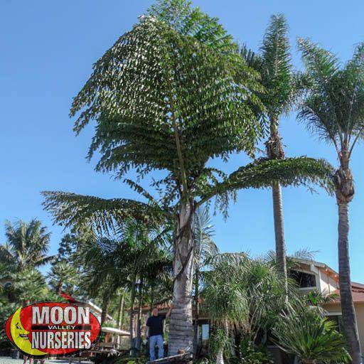 Palm Trees King Kong Fishtail