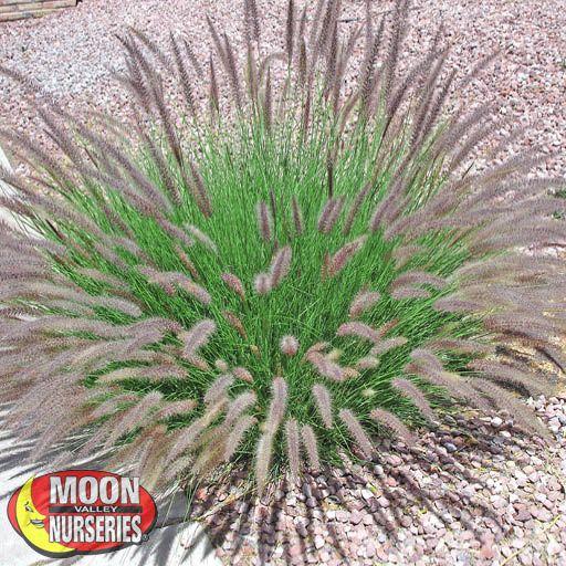 Shrubs Green Fountain Grass