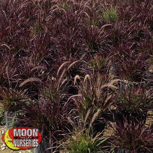 Shrubs Purple Fountain Grass