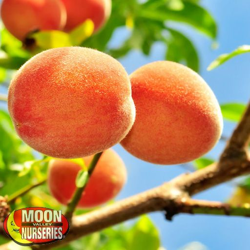Winter to Spring Refresh TX Gold Variety Peach