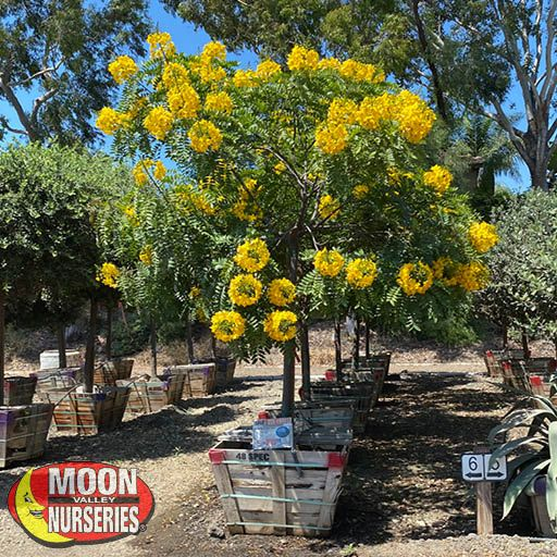 Flowering Trees Gold Medallion Tree