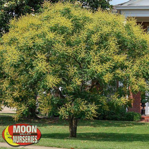 Flowering Trees Golden Rain Tree