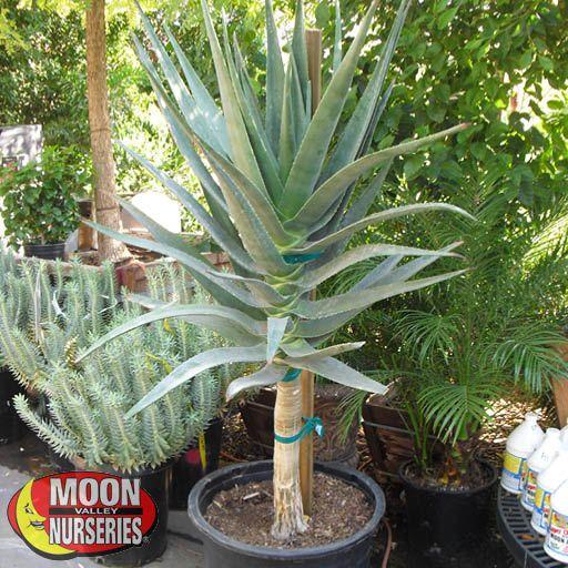 Succulents Hercules Aloe