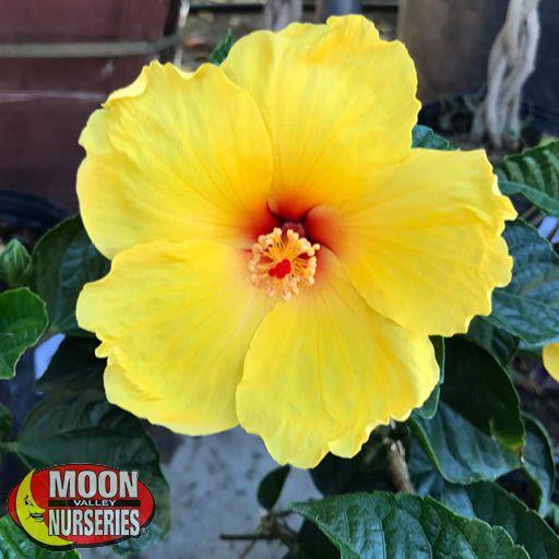 Shrubs Yellow Hibiscus