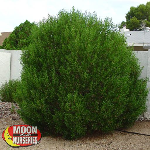 Hedge Material Green Hopseed