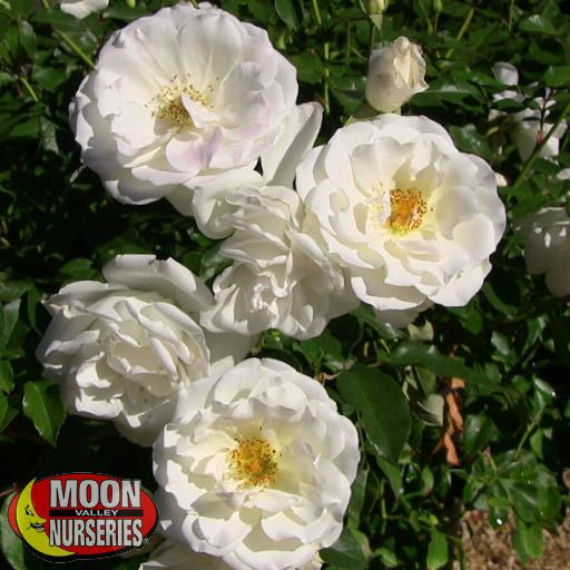 Shrubs Iceberg Rose