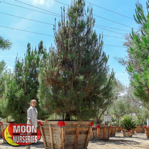 Evergreen Trees Italian Stone Pine