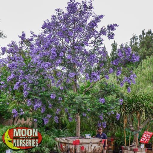 Flowering Trees of Summer Jacaranda