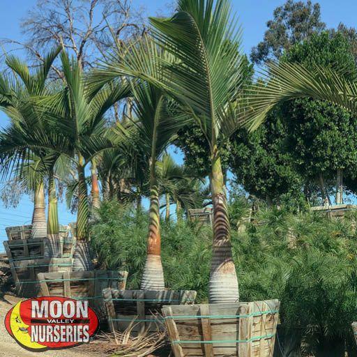 Palm Trees Maxima King Palm