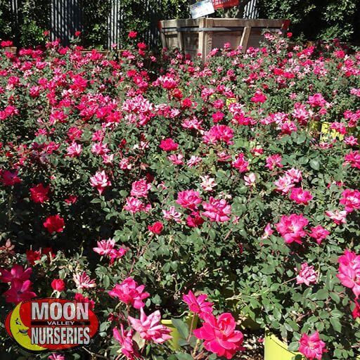 Shrubs Knock Out® Roses