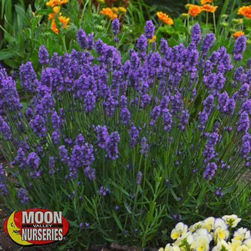 Shrubs Lavender