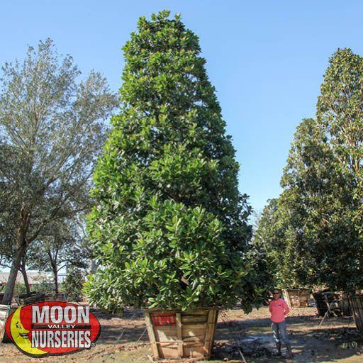 Oak & Magnolia Trees Southern Magnolia