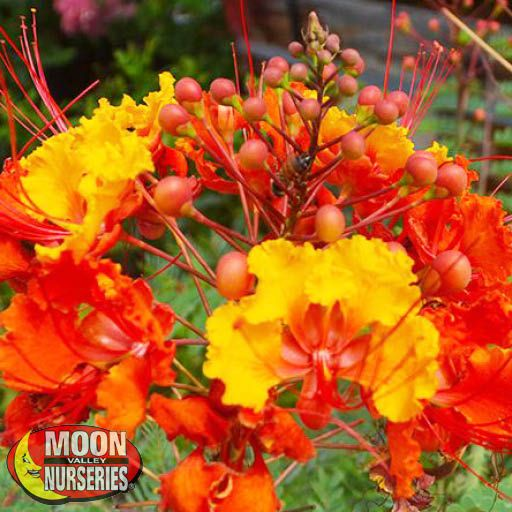 Shrubs Red Mexican Bird of Paradise