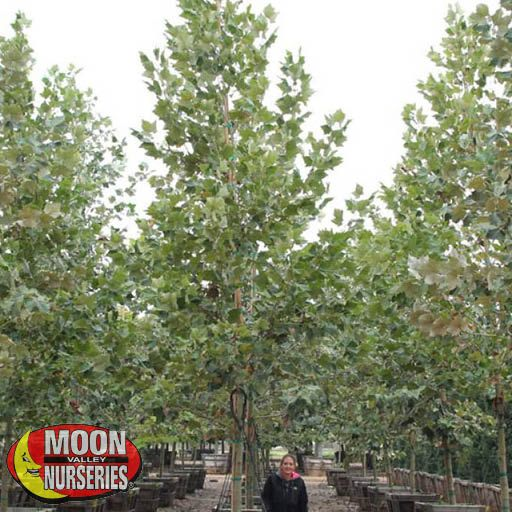 Fast Growers Mexican Sycamore