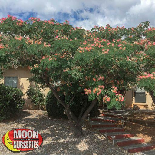 Flowering Trees Mimosa