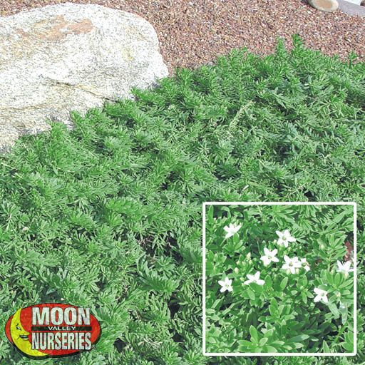 Ground Covers Myoporum