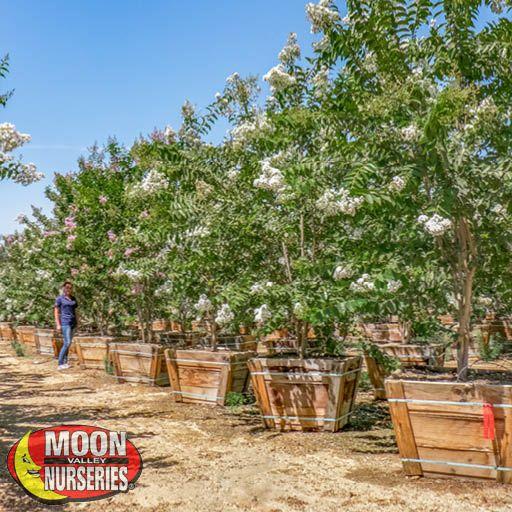 Flowering Trees Natchez Crape Myrtle