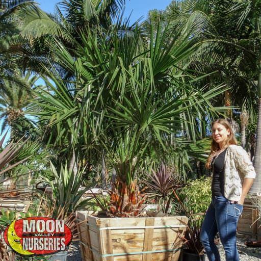 Palm Trees Needle Palm