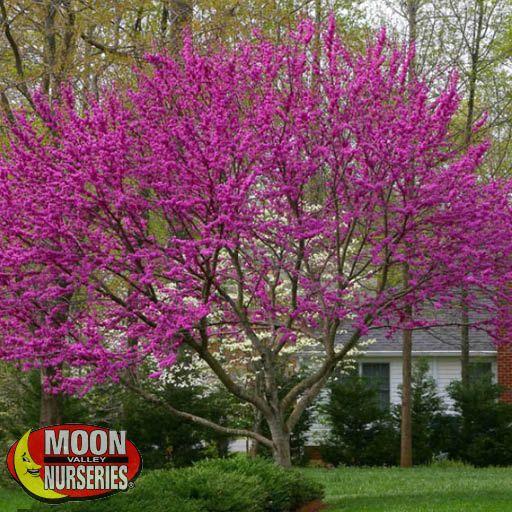 Flowering Trees Oklahoma Redbud