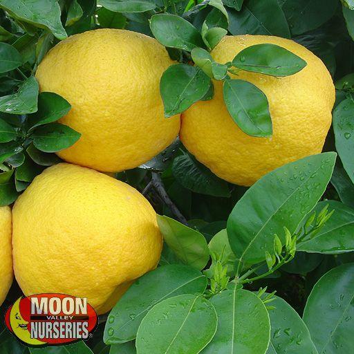 Citrus & Fruit Trees Red Grapefruit