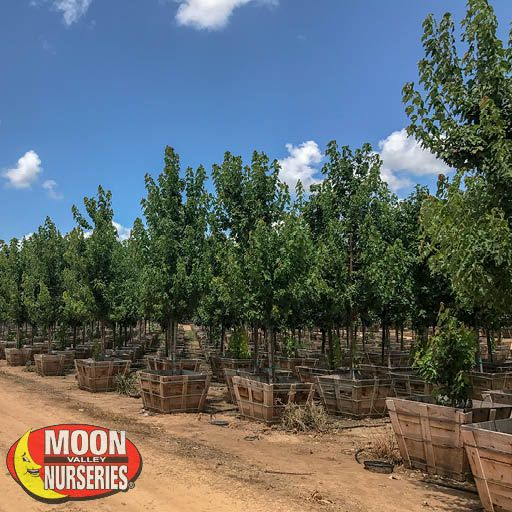Fast Growers Red Maple