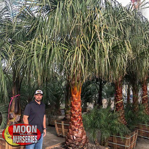 Palm Trees Ribbon Palm