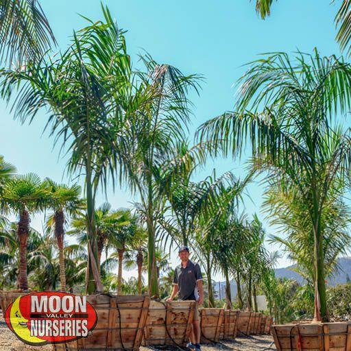Palm Trees Royal Palm