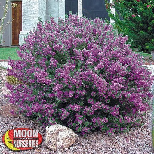 Shrubs Green Cloud Sage