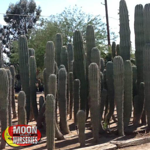 Cacti Agave and More Saguaro